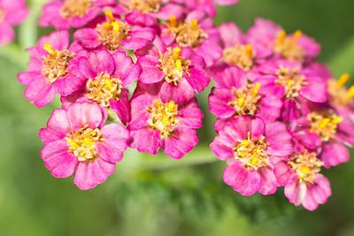 Prairie Rose (Rosa arkansana)