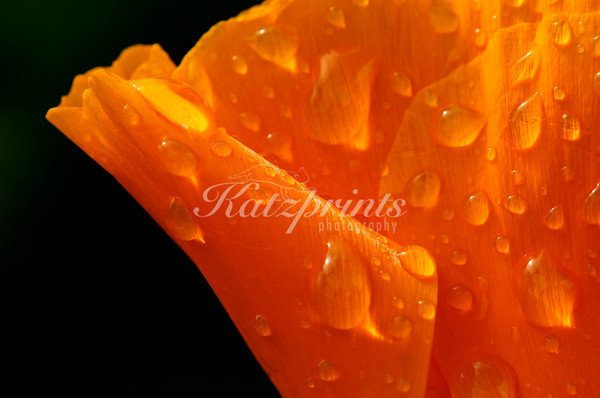 Raindrops adorn a California Poppy.