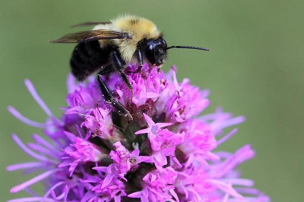 Bumblebee on Butterfly Bush