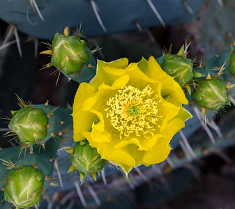 Texas Cactus 2