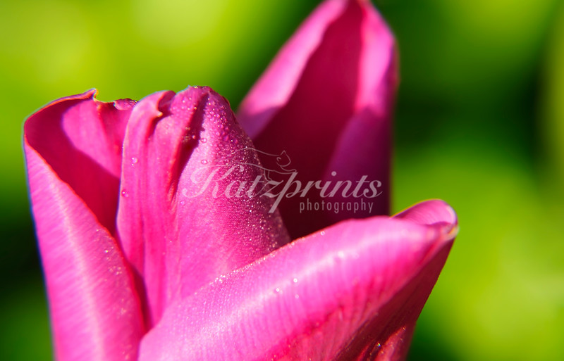 Morning dew on pink tulip