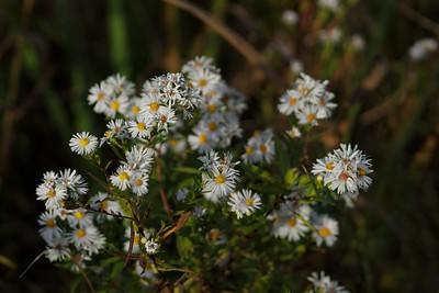 Common Daisys (Bellis perrenis)