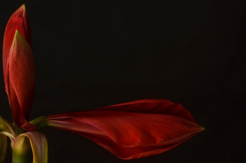 Amaryllis, ready  to bloom