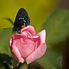 Rare Atala Butterfly