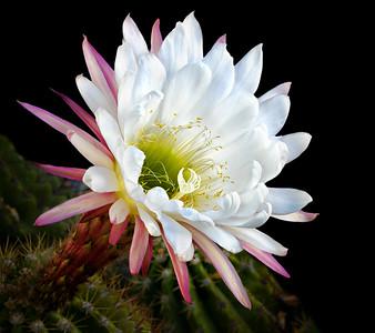 Argentine Giant Cactus bloom