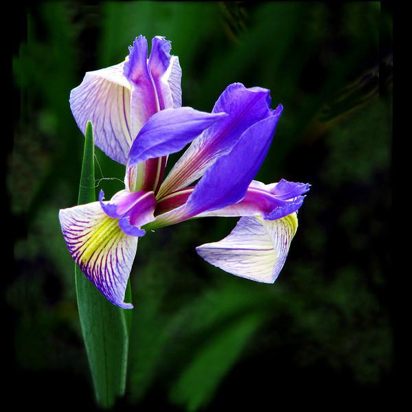 Wild Iris of Grassy
