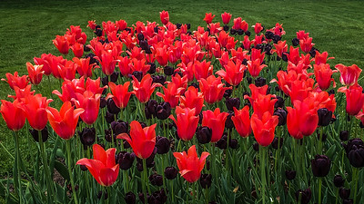 Tulips on the western Prom