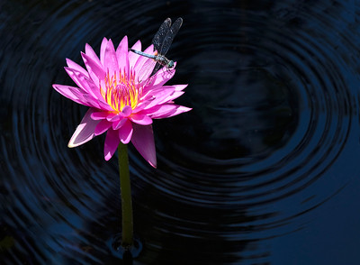 Lily and Dragonfly