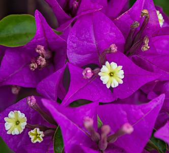 Purple Bougainvilla - Bali