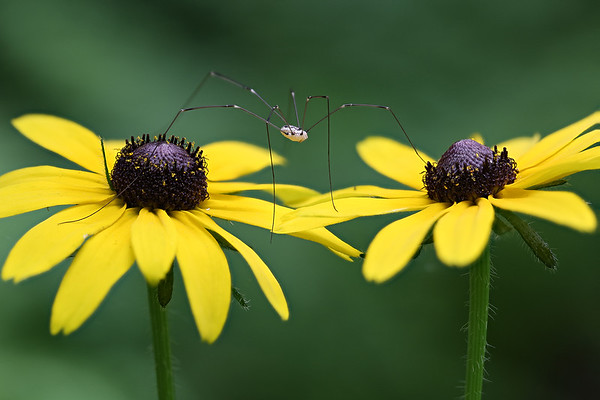 Daddy Longlegs Spider astride two Black-Eyed Susans