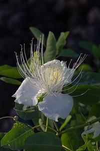 """Dawn Blossom"" (Maiapilo -- Capparis sandwichiana)"