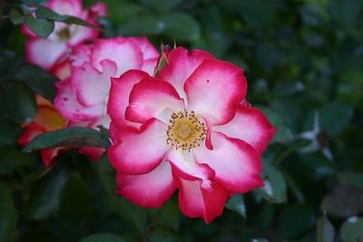 Portland Rose