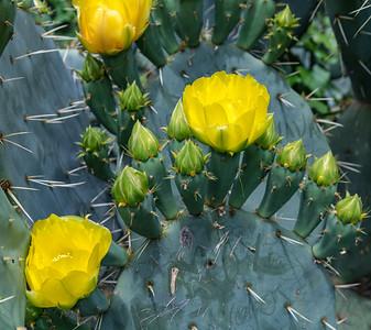 Texas Cactus 1
