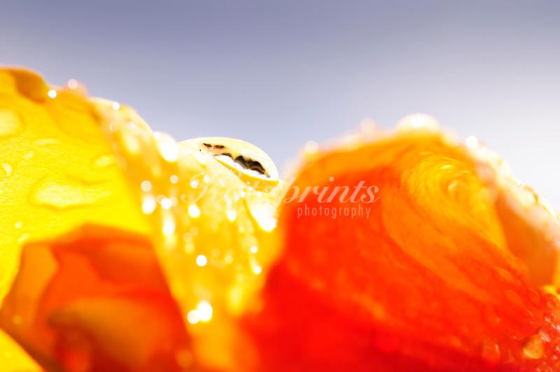 Close-up of a rose after a rainstorm