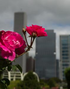 Chicago Rose