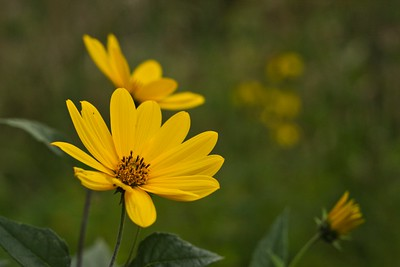 Smooth Oxeye (Heliopsis helianthoides)