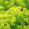 Ladybug on Leafy Spurge