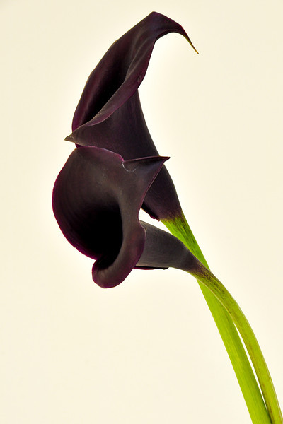 Black Calli Lilly flower