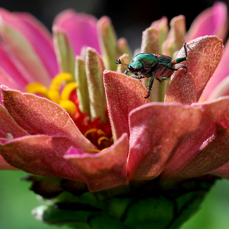 Japanese Beetle on Zinnia