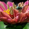 Japanese Beetle on Zinnia