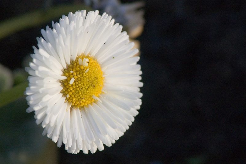 A Daisy, taken in Pearson's Park, The Avenues, Hull, December 2004