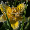 Frosty Marsh Marigold