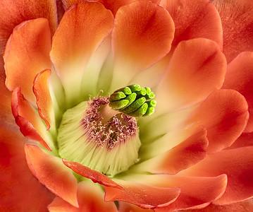 Claret Cup Cactus Macro