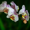 Floating, Orchid, 2