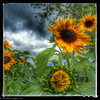 Storms & Sunflowers