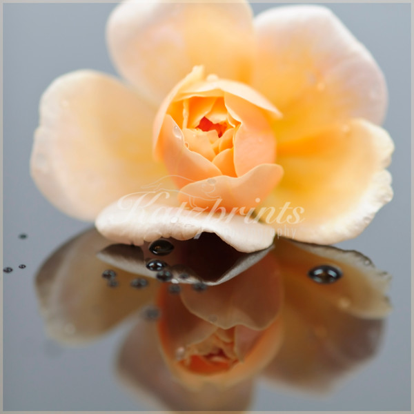 A rose is reflected on a smooth surface.