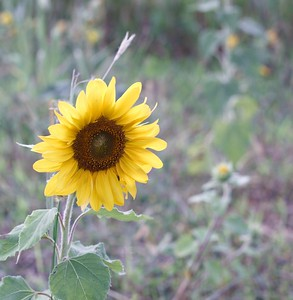 Sunflower (Helieanthus)