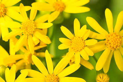 Cluster of Yellow Daisies (Bellis perennis)