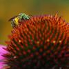 Metallic Green Sweat Bee on Echinacea
