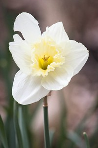 Bunchflower Daffodil (Narcissus tazetta)