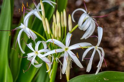 Spider Lily - Sydney