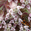 Jumping Spider and a Moth inside Milkweed Flower