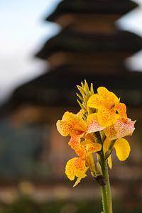Yellow Canna Lily - Bali