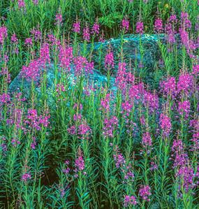 Fireweed in Yankee Boy Basin Colorado