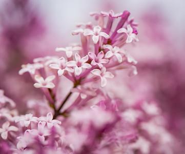Lilac Bush 1