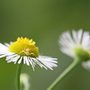 Daisy Fleabane with Crab Spider