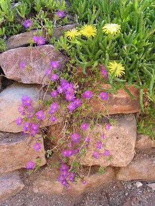 Garden Wallflowers