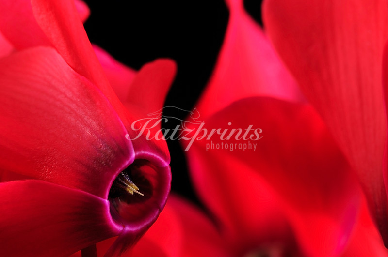 Close-up of a Cyclamen flower
