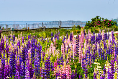 Lupin Field at Higgins Beach