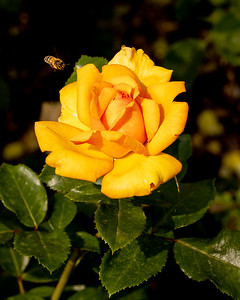 Bee checking out a Yellow Rose
