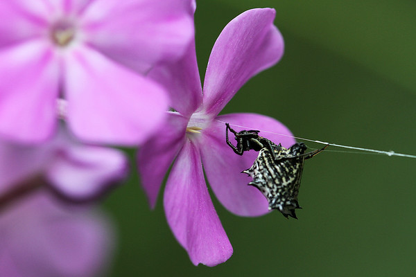 Common Mallow with Spiny-backed Orb-weaver Spider