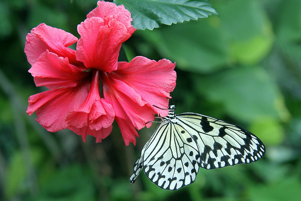 Paper Kite butterfly on possibly a Hibiscus flower