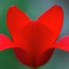 Brilliant Tulip