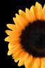 Half Sunflower, Summer
