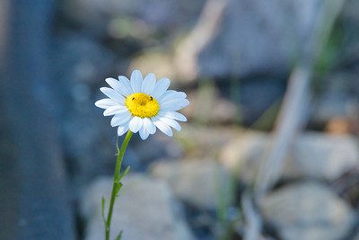 Common Daisy (Bellis perrenis)