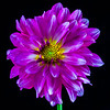 flowers_barath_2019_79